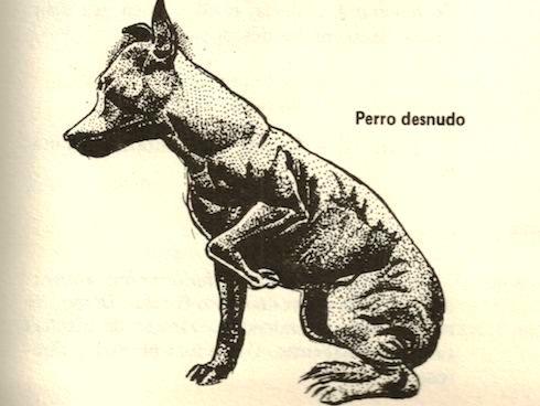 perro sin pelo mejicano