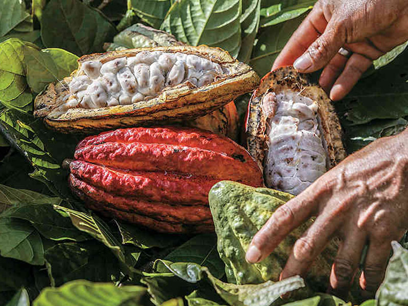 cacao seed money grant